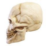 lewy czaszka Zdjęcie Stock