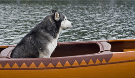 Lexa, el perro esquimal Foto de archivo libre de regalías