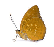 Lexias dirtea (female) butterfly Royalty Free Stock Photo