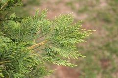 Leyland cypress branch Argentina