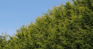 Leyland Cypress, cuprocyparis leylandii, Normandy,. Real Time 4K stock video footage