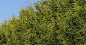 Leyland Cypress, cuprocyparis leylandii, Normandy,. Real Time 4K stock video