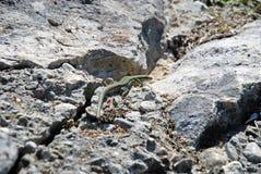 Lezard on rocks Stock Photography