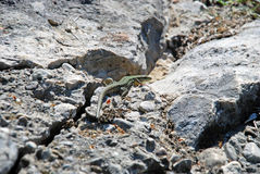 Lezard sulle rocce Fotografia Stock
