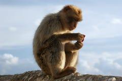 ?Lezend? Barbarije Macaque Royalty-vrije Stock Afbeeldingen