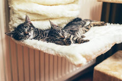 Lügenc$schlafen von zwei entzückenden kleinen Kätzchen der getigerten Katze Stockfotografie