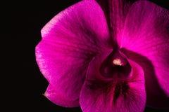 Lågt nyckel- foto av den Vanda orkidén, violett orkidé, makroorkidé, closeuporkidér, orkidé med pollen Arkivbilder
