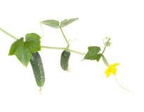 Légumes de concombres avec des lames et des fleurs Image libre de droits