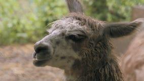 Lhama, lama in 4K Colpo stretto video d archivio