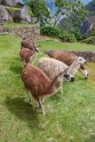 Lhamas羊魄Vicunhas马丘比丘 库存图片