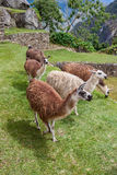 Lhamas-Alpakas Vicunhas Machu Picchu Stockbilder