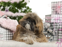 Lhasa Apso, 1 year old, lying with Christmas Stock Images