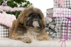 Lhasa Apso, 1 year old, lying with Christmas Royalty Free Stock Image