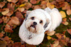 Lhasa apso. Adorable lhasa apso in the fall Royalty Free Stock Photos