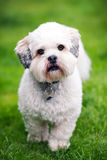 Lhasa apso Royalty Free Stock Photos