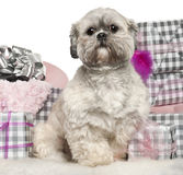 Lhasa Apso, 2 years old, sitting with Christmas Royalty Free Stock Images