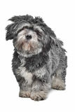 Lhasa Apso. Standing in front of a white background Royalty Free Stock Photo