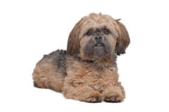 Free Lhasa Apso Royalty Free Stock Images - 25875039