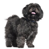 Lhasa Apso, 3 years old, standing Stock Photos