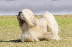 Lhasa Apso Stock Images