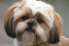 Lhasa Apso Royalty Free Stock Images