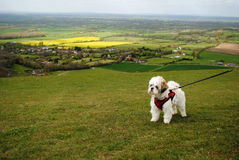 Lhasa Apso on beautiful green hillside Royalty Free Stock Photography