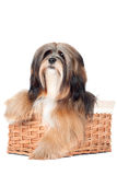 Lhasa apso dog in a basket. Lhasa apso breed dog in the basket Stock Photos