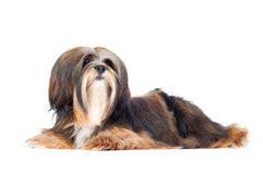 Lhasa apso dog portrait Stock Photo
