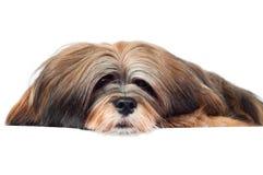 Lhasa apso dog portrait stock image