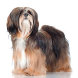 Lhasa apso dog portrait. Lhasa apso breed dog standing on white Stock Photography