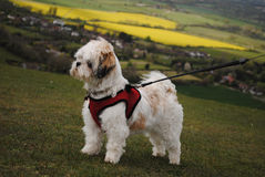 Lhasa Apso close-up on hilly landscape Royalty Free Stock Photo