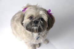 Lhasa apso dog Royalty Free Stock Photo