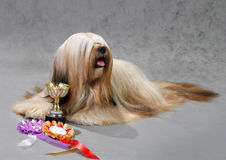 Lhasa Apso dog. Lying on a gray background. Not isolated Royalty Free Stock Photography