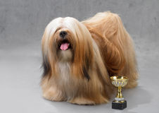 Lhasa Apso dog. Lhasa Apso dog, standing on a gray background. Not isolated Royalty Free Stock Images