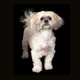 Lhasa Apso Dog Black Background Royalty Free Stock Images