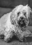 Lhasa apso dog Stock Photos