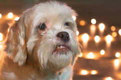 Lhasa Apso dog with blurred christmas lights on the background. Stock Images