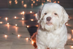 lhasa apso dog with christmas lights on the background royalty free stock photos - Dog Christmas Lights