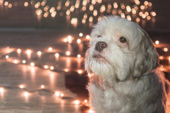 Lhasa Apso dog looking up with christmas lights on the background. Royalty Free Stock Images