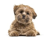 Lhasa apso dog, 8 months old, lying against white background. Isolated on white Stock Images