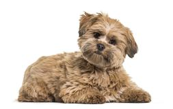 Lhasa apso dog, 8 months old, lying against white background. Isolated on white Royalty Free Stock Images