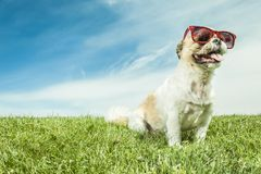 Lhasa Apso Dog over a white background Royalty Free Stock Images