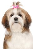 Lhasa Apso dog portrait Royalty Free Stock Photo