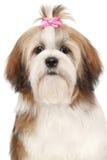 Lhasa Apso dog portrait. Lhasa Apso dog. Close-up portrait on isolated white background Royalty Free Stock Photo