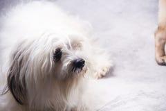 Lhasa Apso dog. stock photo