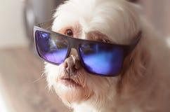 Lhasa apso dog wearing blue mirrored sunglasses Stock Photos