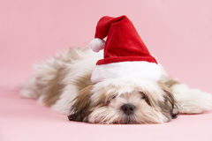 Lhasa Apso Dog Wearing Santa Hat Stock Photography