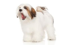 Lhasa Apso dog yawns Royalty Free Stock Photo