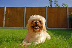 Lhasa Apso in the garden Stock Images
