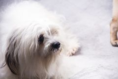 Lhasa apso Hund stockfoto